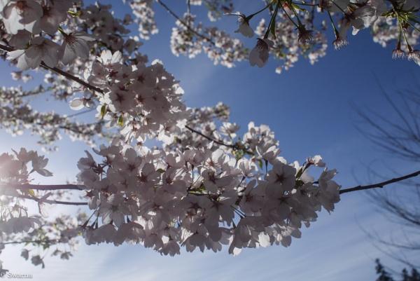 Cherry blossom II by Swarnadip