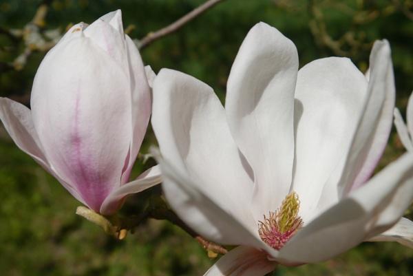 Magnolias by Suzicoo