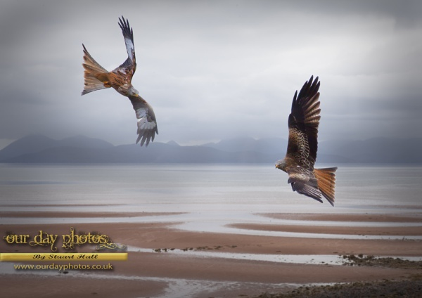 Applecross Red Kites by ourdayphotos