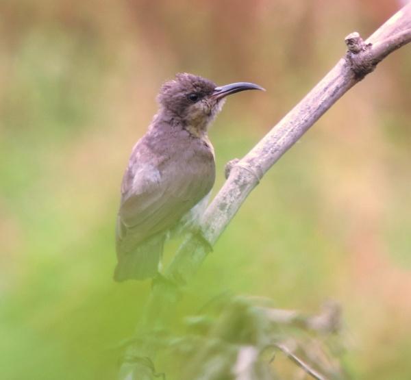 sunbird ( female ?) by Buddhadev