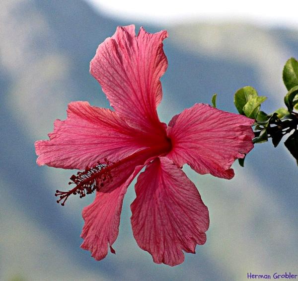 Pink Hibiscus by Hermanus