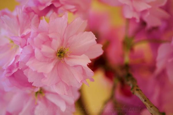 Spring Blossom by pdjbarber