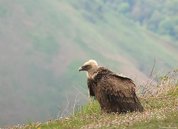 Griffon Vulture by stepr17