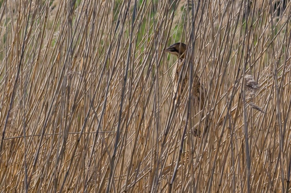 A Rare Sighting - Bittern by AndrewCee