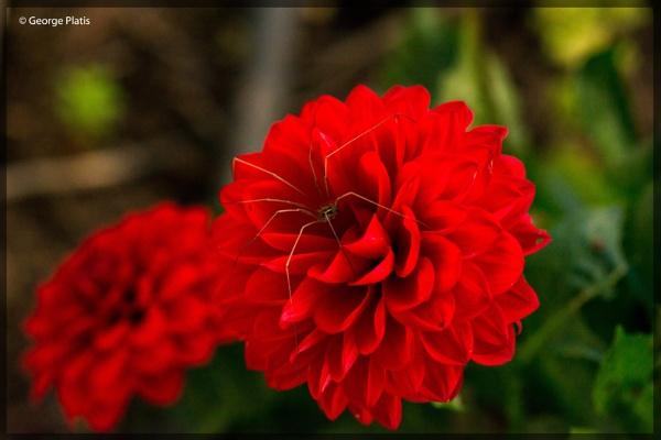 Red Dahlia by GeorgePlatis