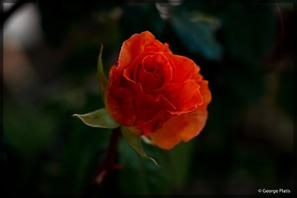 Rose from Rhodes by GeorgePlatis