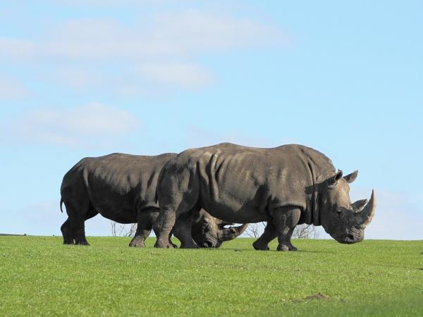 Rhino by FlawedDesign