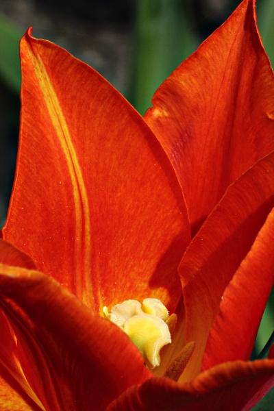 Tulip by FlawedDesign