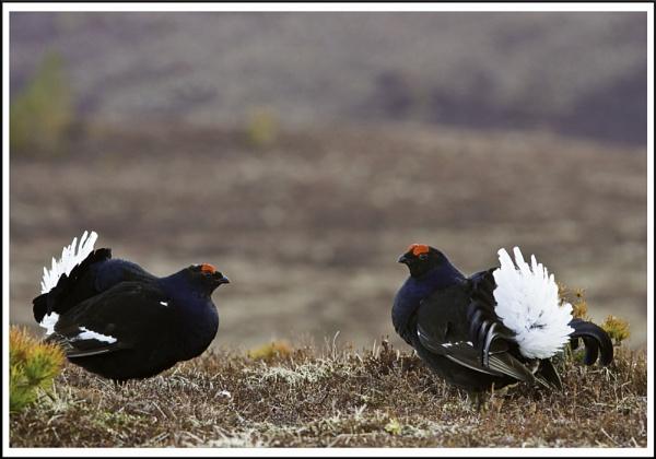 Black Grouse lek, Cairngorms National Park by Colin_Leslie