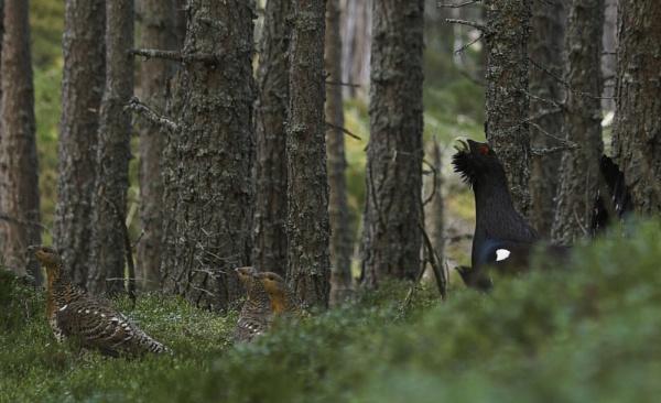 Capercaillie Lek, Cairngorms by Colin_Leslie