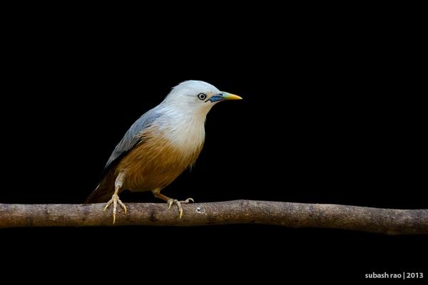 Malabar White-headed Starling by subashcr