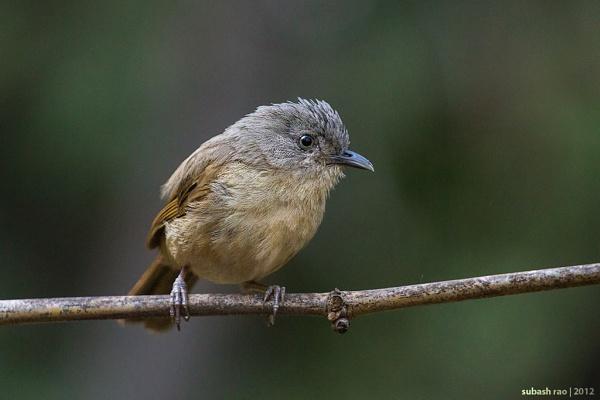 Brown-cheeked Fulvetta by subashcr