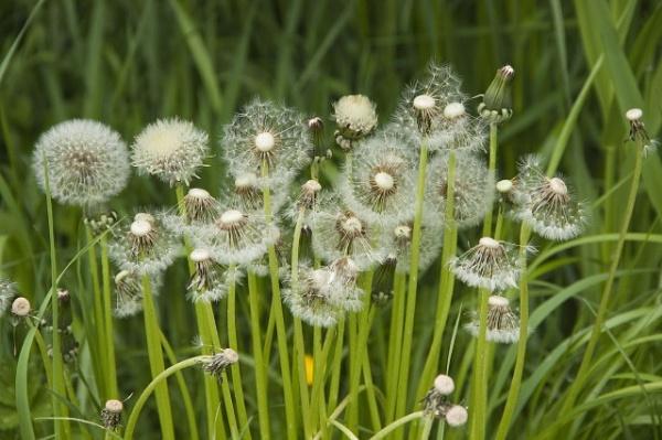dandelions by lionking