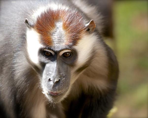 Cherry Crowned Mangabey Monkey by aj14