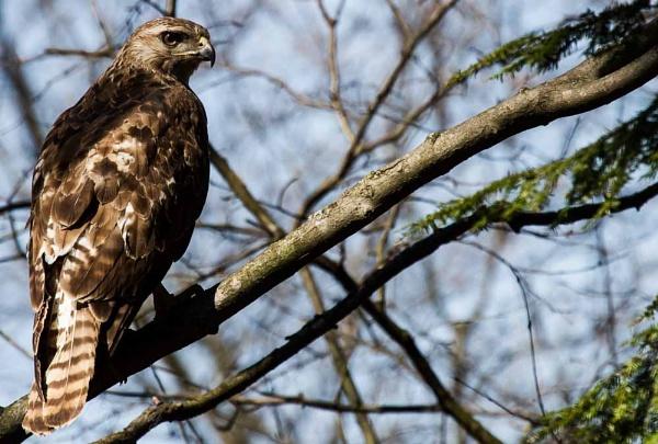 Golden Eagle by e_villeda