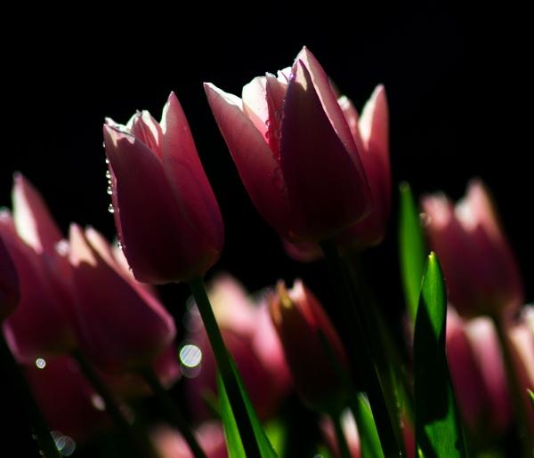 Tulips by greatdog
