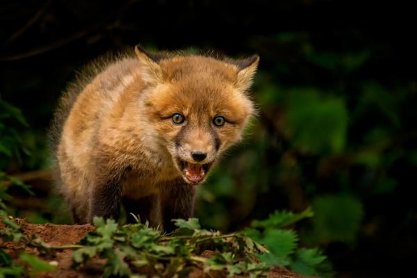 Cute Fox Cub by mikepearce