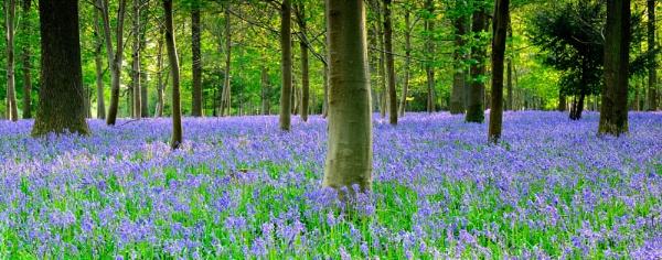 Dorset evening Bluebells by NippyN