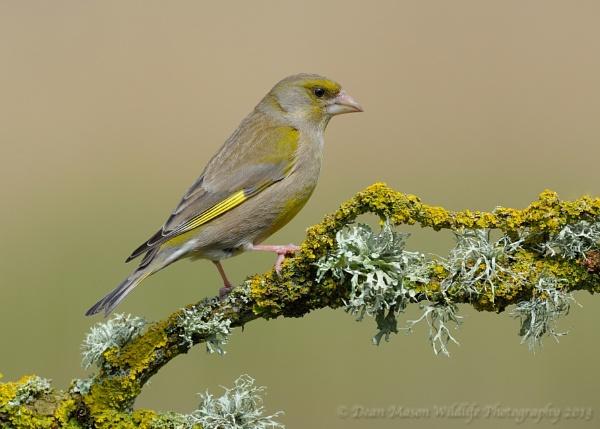Sunlit Greenfinch by WindowonWildlife