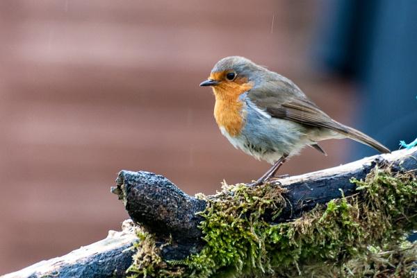 Robin by gmorley