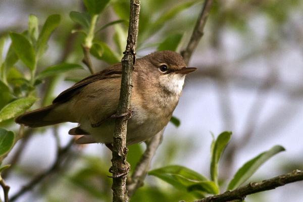 Reed Warbler by cleg