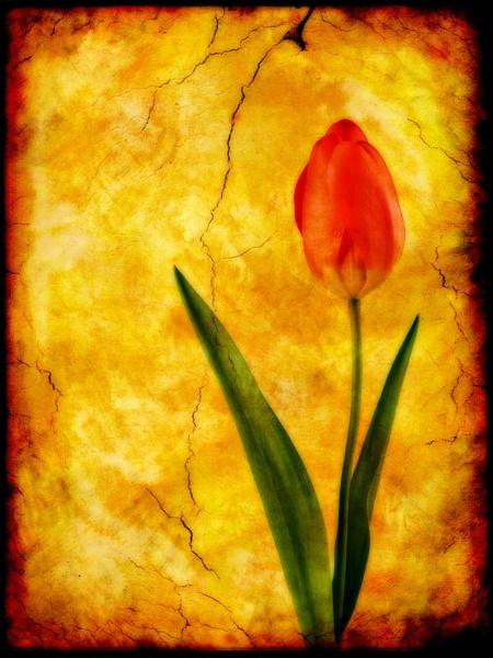 Single Red Tulip by Ian55