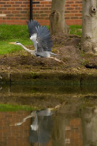 Heron by RazvanD
