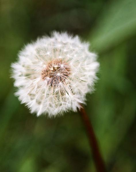 Dandelion by jasonrwl