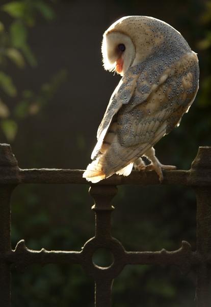 Barn Owl - evening side-light by philhomer