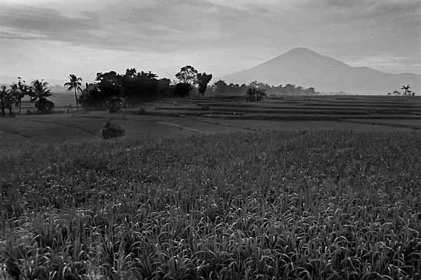 Ricefields by arhab