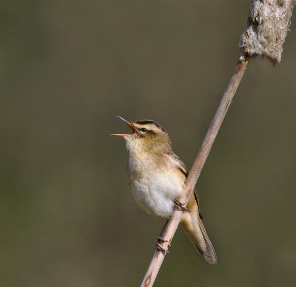 Sedge warbler by footloose