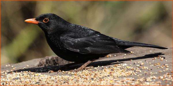 Blackbird at Himley Hall 2 by DicksPics