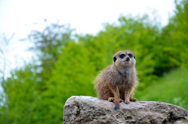 cheeky meerkat by ste_p0270