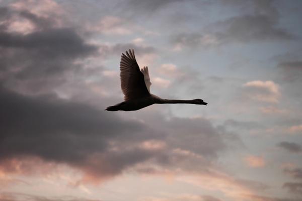 Evening flight by bertie1983