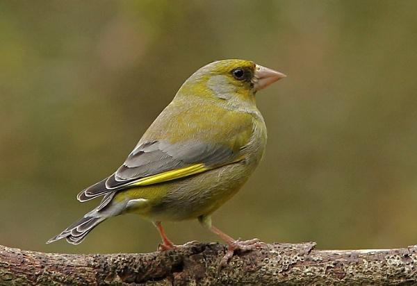 Greenfinch by ali63