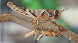 Locusts on a branch
