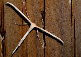 Glider Bug