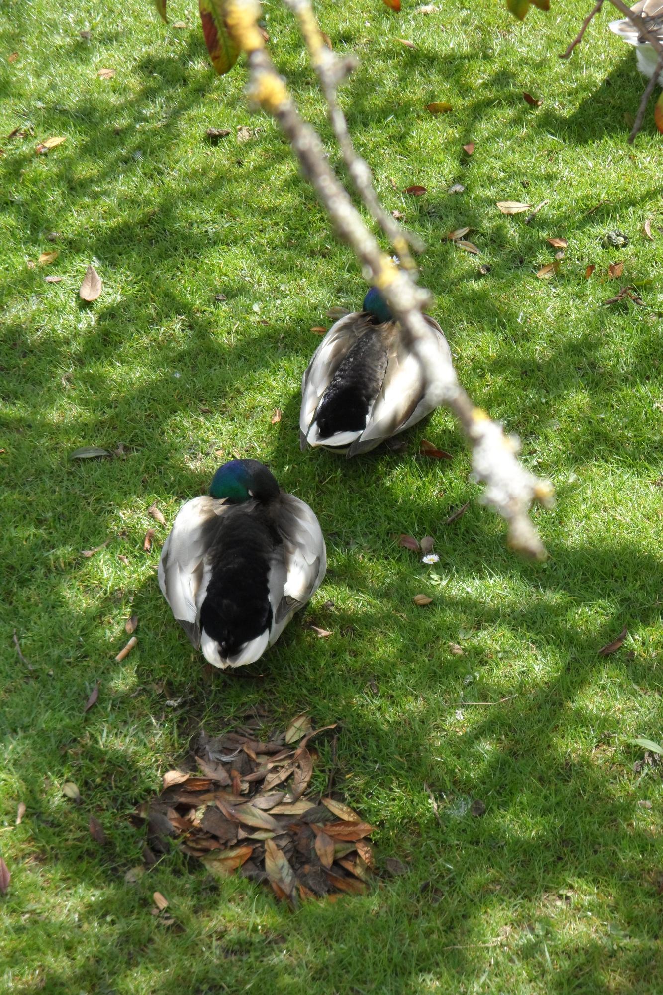 Ducks having a rest