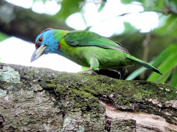 Blue throated barbet by Buddhadev