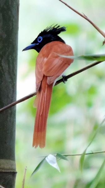 Paradise flycatcher ( female ) by Buddhadev