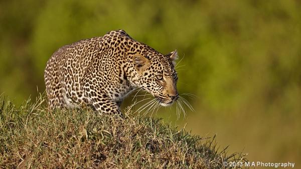 Masai Leopard by mark103
