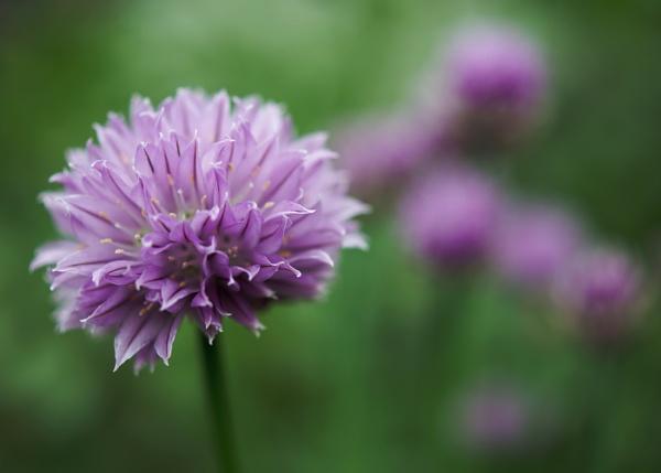 Purple haze by pollisher