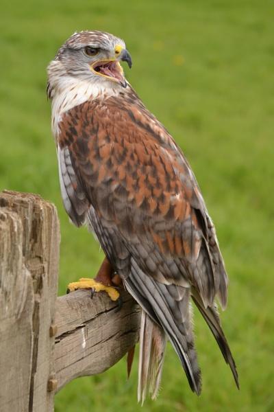 Ferruginous Hawk by SpikeD3100