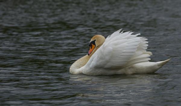 Swan by eosdpete