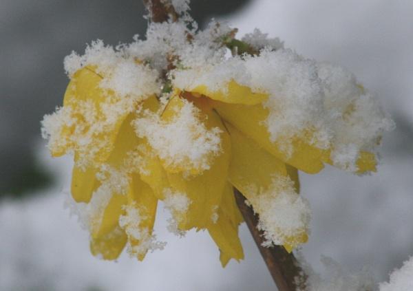 Frosty forsythia by Shotover
