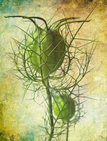Nigella seedhead by flowerpower59
