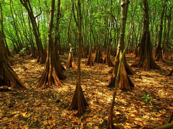 Mangrove by Jallingham