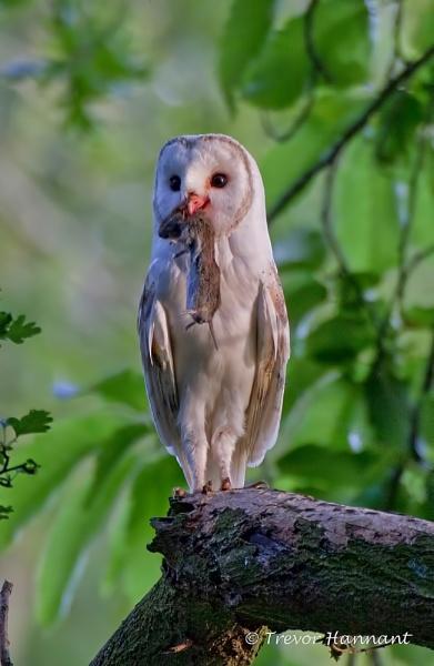 BARN OWL by trevrob