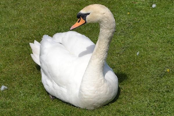 Very tame swan by lenocm