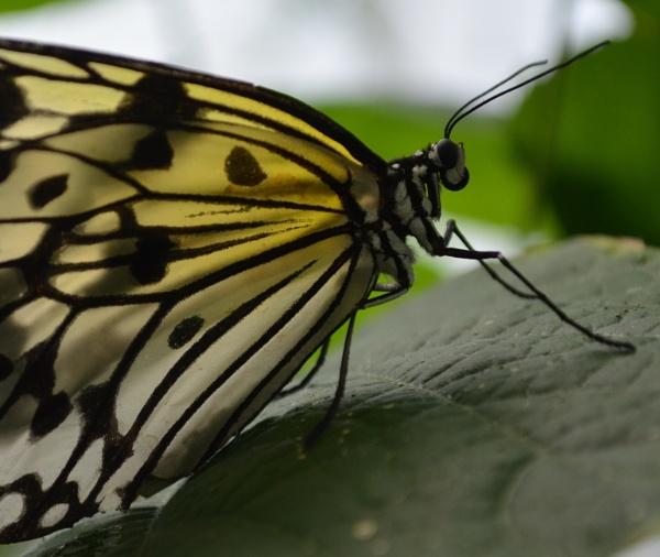 Beautiful butterfly by Redziggy